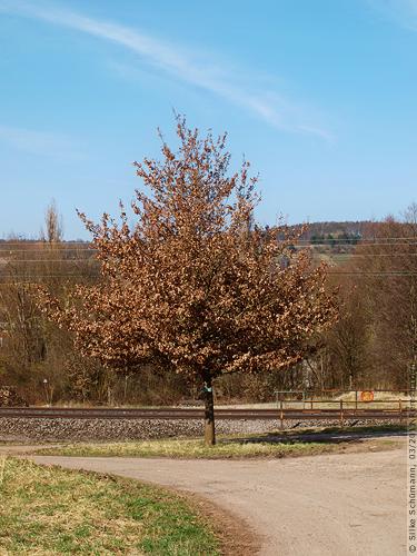 Der Baum bei den Gleisen Anfang März 2011