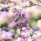 Blasslila Schmetterlingsblütler im Sonnenlicht