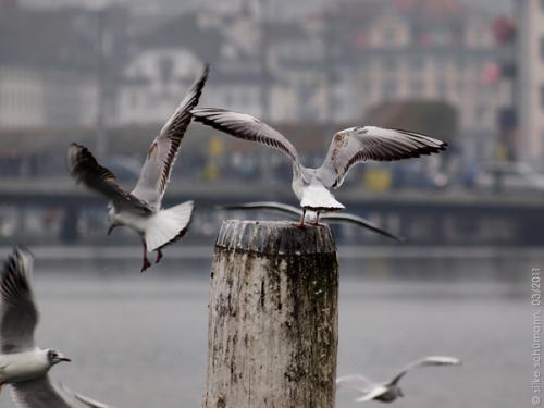 Luzerner Möven kappeln sich am See um einen Pfosten
