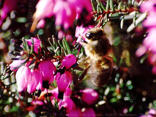 Eine Biene in der Erika