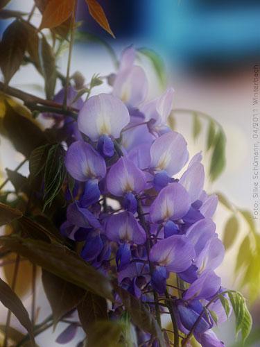 Blasslila Blüten des Blauregen
