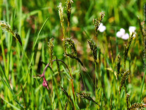 Blühendes Gras
