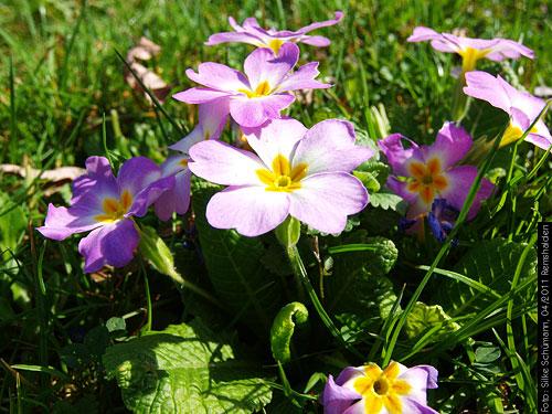 angefressene Gartenschlüsselblumen im Rasen
