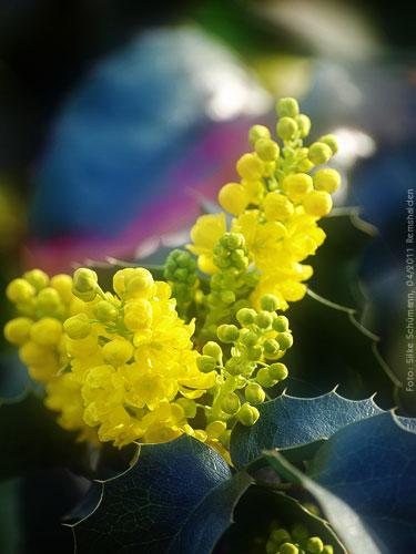 Gelbblühender Stechdorn