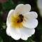 Honigbiene in der Blüte der Heckenrose