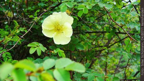 Gelbe Heckenrose