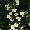 Weiße Heckenrosen