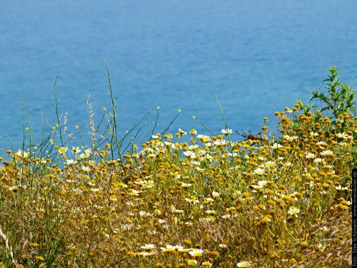 Santorini Asteracea