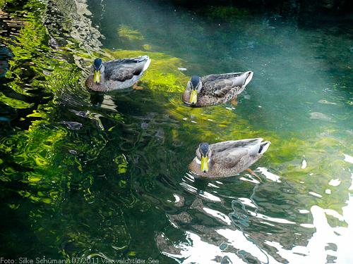 Drei Stockenten im Kanal von Stansstad