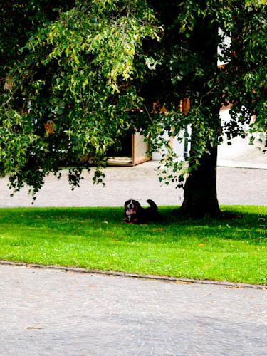 Hofhund Amadeus unter der Linde