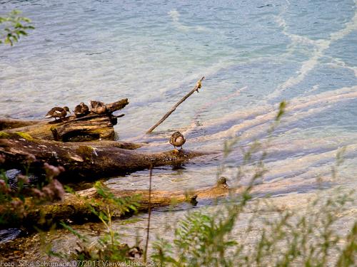 Enten auf den Bäumen Am Ufer