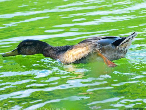 Ente auf dem Rotsee