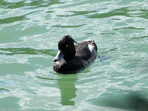 Schwarze Maori-Ente auf dem Rotsee