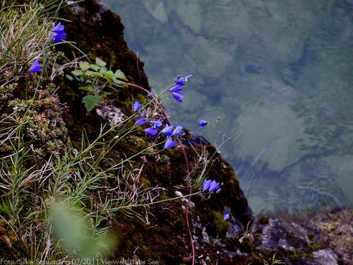 Glockenblume am Seeufer
