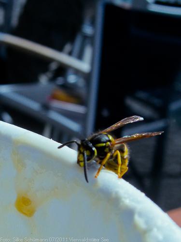 Cappucino-Pause für kleine Wespe