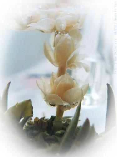 Grüner Tee - Teeblüte